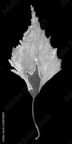 Fotografia, Obraz  Fallen autumn leaf of birch on black