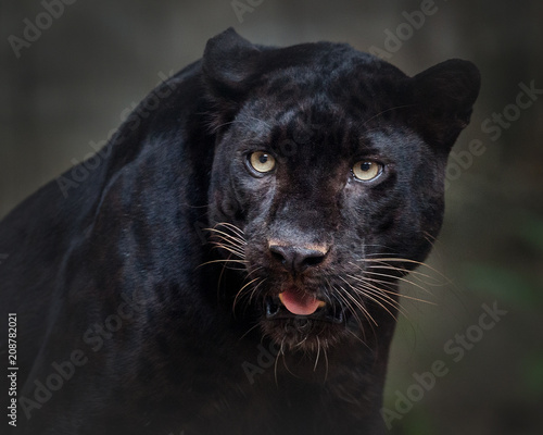 Deurstickers Panter panther ,black panther