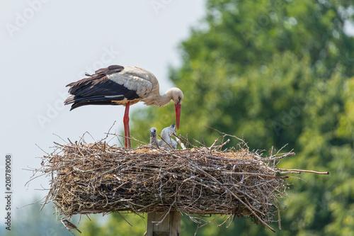Fototapeta Storch (Ciconia ciconia) mit Jungstörchen im Nest