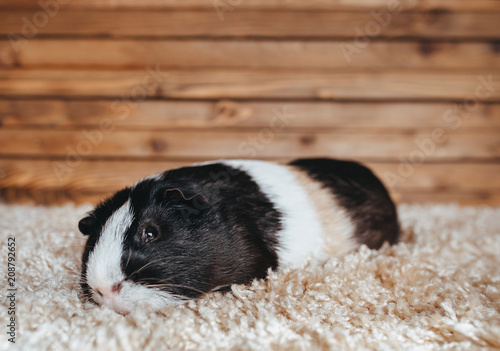 Cuadros en Lienzo Guinea pig comfortably rests on a soft rug