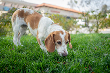 Brown And White Beagle Dog Sniffing Outside On A Lawn.