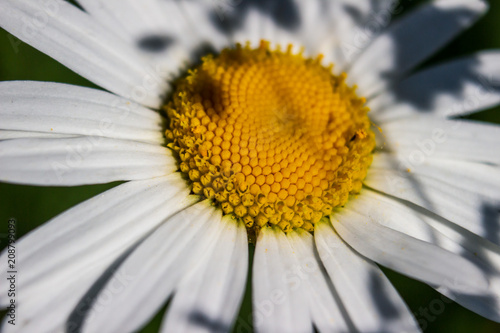 Fotobehang Macrofotografie Chamomile flowers field in sun ligh. Chamomile close-up .Daisies background.