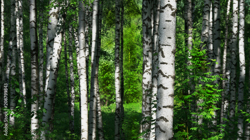 Printed kitchen splashbacks Birch Grove summer in sunny birch forest
