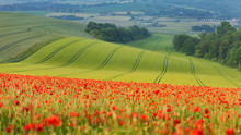 Poppy  Field In Sussex