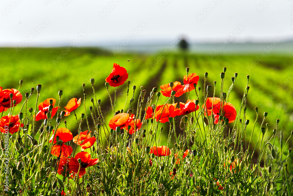 Red poppies flowers blossom on wild field. Natural drugs.