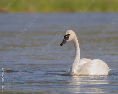 In de dag Zwaan Trumpeter Swan