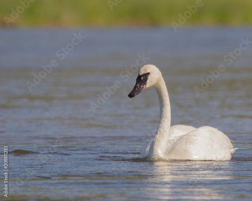 Foto op Plexiglas Zwaan Trumpeter Swan