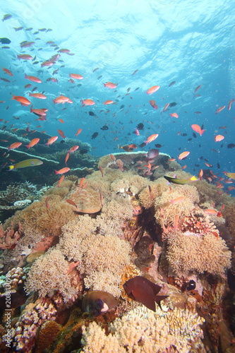 Fotobehang Koraalriffen Colorful reef fish blue ocean and bright coral underwater