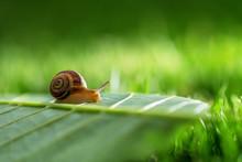 Snail In Grass.
