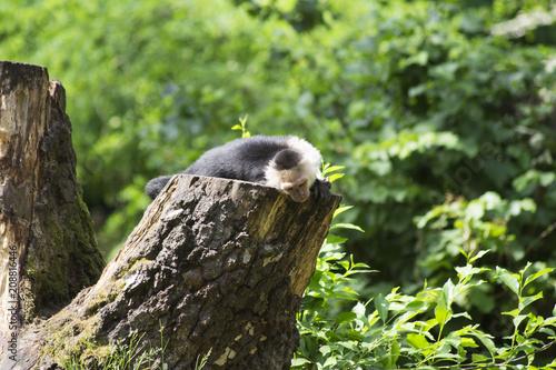Foto op Plexiglas Aap Affe aufm Baumstamm