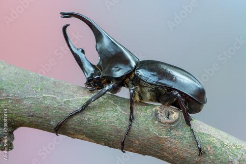 Fotomural brown rhinoceros beetle - Xylotrupes gideon sumatrensis
