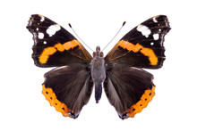 Vanessa Atalanta On A White Background