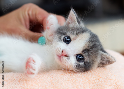 cute kitten is comfortable lying and looking