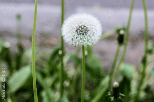 Poster Paardebloem Closeup image of beautiful white dandelion with seeds. Bright summer macro photo with single blowball