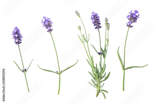 obraz PCV Lavender flowers isolated white background
