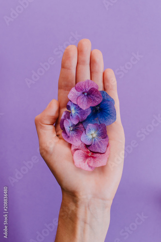 A hand holding a scattering of hydrangea flowers and petals over a purple background