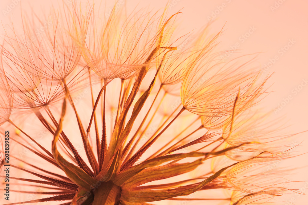 Fototapety, obrazy: Dandelion seed head on color background, close up