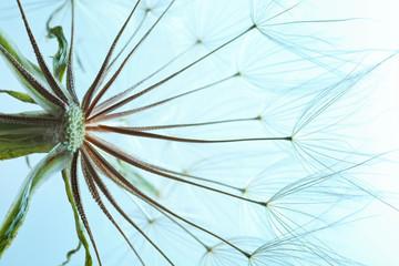 Fototapeta Dmuchawce Dandelion seed head on color background, close up