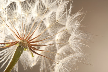 Fototapeta Dmuchawce Dandelion seed head with dew drops on grey background, close up