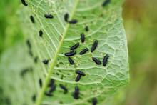 葉っぱに群がる大量の虫