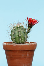 Exotic Flower On Cactus Plant