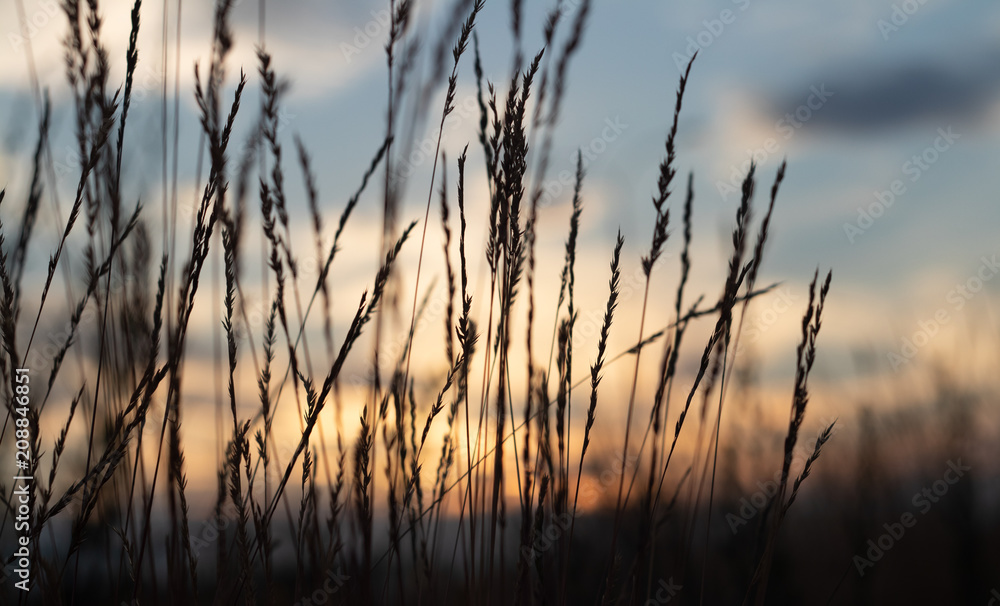 Fototapety, obrazy: defocus, field grass on evening sky background, sunset