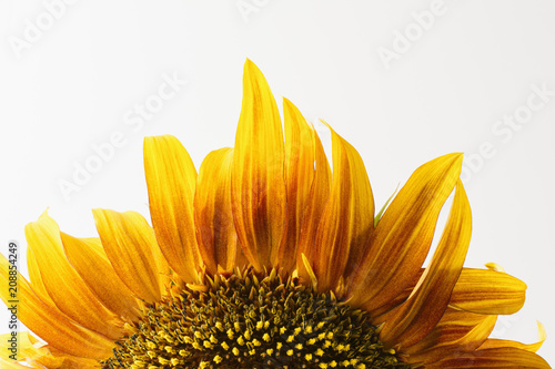 Cropped single sunflower