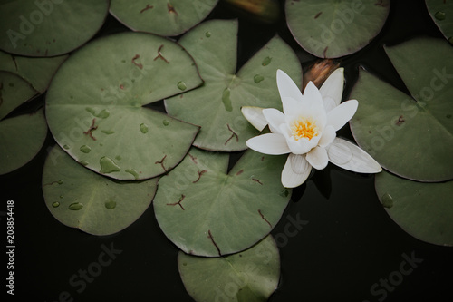Single dainty white water lily with green pads