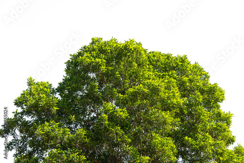 Cuadros en Lienzo bush green leaves and branches of treetop isolated on white background for desig