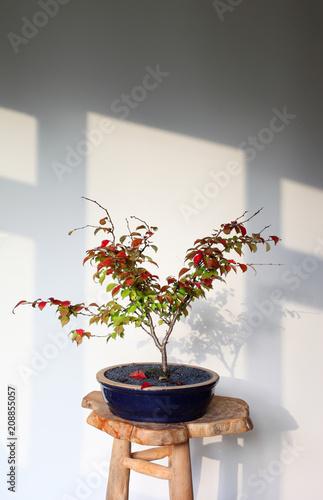 Bonsai tree turning red in autumn