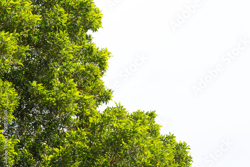 Foto  bush green leaves and branches of treetop isolated on white background for desig