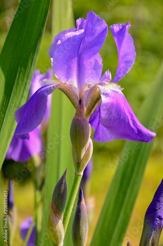 Spoed Foto op Canvas Iris Flower of Iris purple