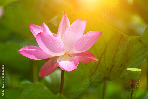 Deurstickers Lotusbloem Beautiful pink lotus