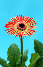 Red Daisy Plant On Blue