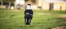 Australian Magpie Outdoors