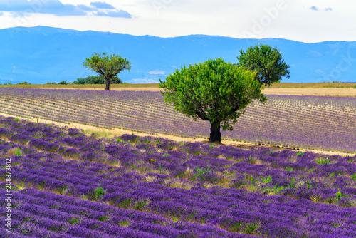 Fototapety, obrazy: Olive trees and lavender fields at Valensole, Provance, France