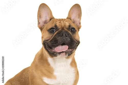 Foto op Plexiglas Franse bulldog Portrait of a french bulldog smiling with mouth open isolated on a white background