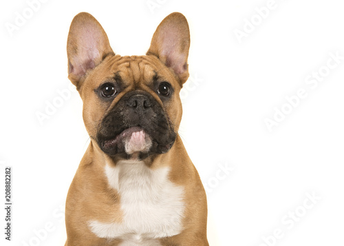 Deurstickers Franse bulldog Portrait of a french bulldog looking away isolated on a white background