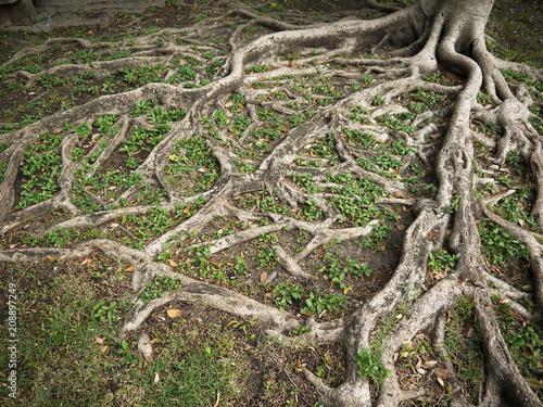 Slika na platnu Tree roots on the ground