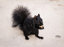 Black Squirrel With Nut