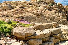 Wild Flower Among The Rocks Asilomar State Marine Reserve California