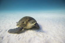Turtle On The Seabed, Lady Ell...
