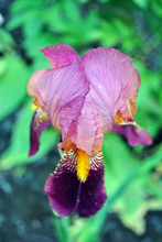 Purple And Yellow Iris Flower Blooming, Blurry Green Leaves Vertical Background