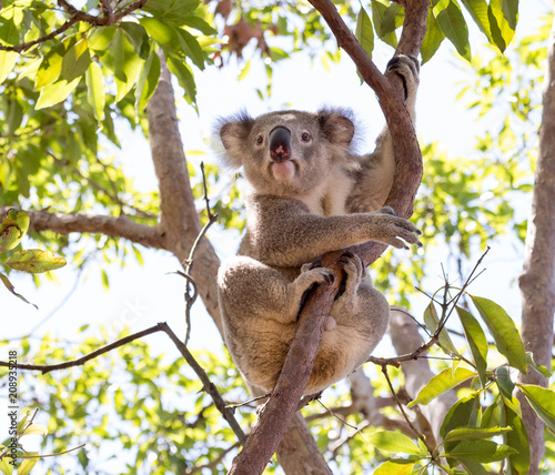 Wildn Koala sitting in a tree in Australia with eyes open looking towards the camera