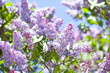 Close-up blossoming Syringa vulgaris lilacs branch. Beautiful springtime floral background with bunch of violet purple flowers. lilac blooming plants background. soft focus photo.