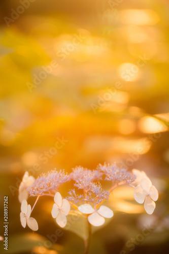 Fototapety, obrazy: 夕暮れ時の紫陽花