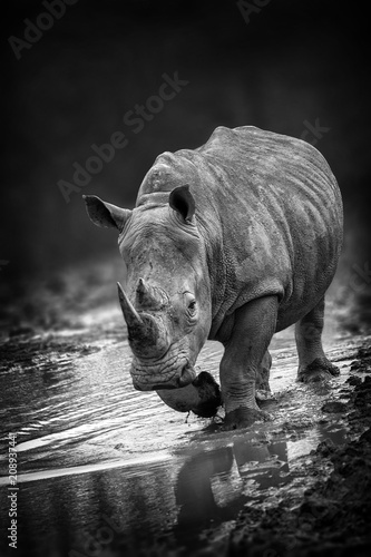 Poster Neushoorn Rhinoceros portait with a slight front view angle monochrome black and white image