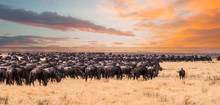A Migration Of Wildebeest In S...