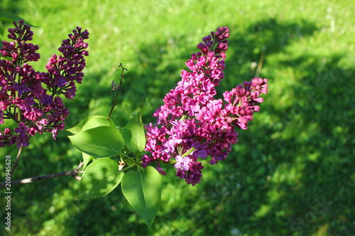 Keuken foto achterwand Lilac Bunch of claret red lilac flower