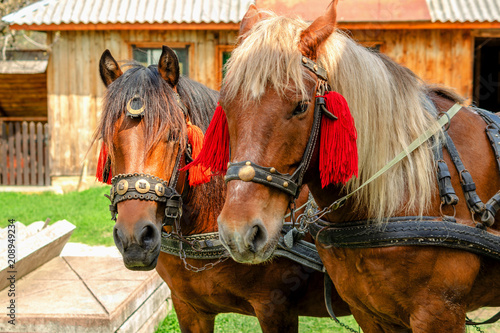 Portrait of pair of brown horses heads, in a  harness stand on the yard of farm Poster